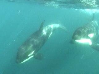 Sardin Run 2011 : rencontre avec les orques