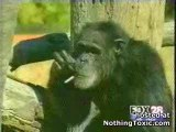 un singe qui fume