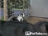Goat Rides Bucking Bronco