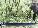 Vorsichtiger Optimismus: Zahl der Berggorillas verdoppelt