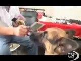 Intelligenza canina, Huzi legge in cinese e stupisce il padrone. Riconosce oltre 30 ideogrammi e molte figure di animali