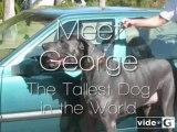 Ecco George il Gigante, il cane più grande del mondo