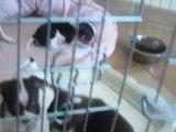 Bébés de Geisha à cinq semaines, trois mâles choco et blanc,LOF, petit gabarit!