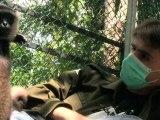 Indonésie: dans la jungle de Bornéo, un Français se bat pour les gibbons