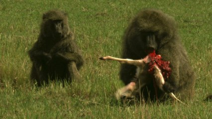 Graphic content warning: Baboon eats gazelle alive