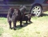 Bagarre de chats stoppée par des chiens policiers