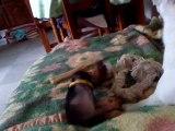 Haiko, femelle Pinscher a 2 mois et demi et Sushie, femmelle Jack Russel a 11 mois. (Chanel le chat pendant 2 secondes)