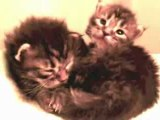 Chatons Maine Coon Chatterie de la Verrerie Royale  2 weeks Kitten - Adele Someone Like you