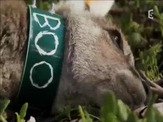Invasions des Kangourous