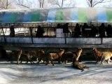 Tigres mange une chèvre vivante au Zoo Chinois