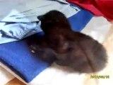 Les premiers pas de chatons de 10 jours