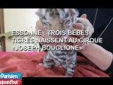 """Essonne : trois bébés tigres naissent au cirque """"Joseph Bouglione"""""""