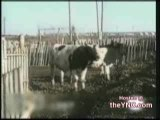 Farmer Humping Cow
