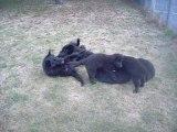2 septembre 2012 : Cheyenne et ses chiots