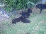 2 septembre 2012 (2)  : Cheyenne et ses chiots