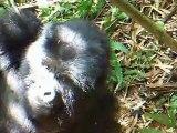 2012 06 RWANDA :  on y va, les GORILLES nous attendent . Photos et videos du groupe AMAHORO