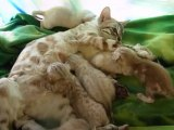 Magic Bengal Cattery - Blitz & her snow babies