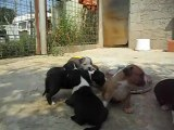 CHIOTS AMERICAN STAFFORDSHIRE TERRIER (AMSTAFF)