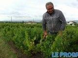 Vendanges en Beaujolais : le cru 2012 inquiète les viticulteurs