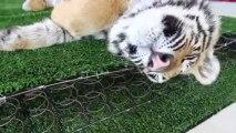 Ne pas ennuyer un tigre qui dort