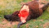 Un loup attaque des moutons à Gedinne