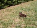 Chiot Chihuahua poil long chocolat et tan de 5 semaines