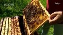 Les abeilles noires en voie d'extinction