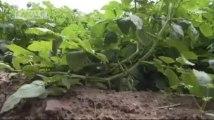 Mauvaises récoltes en vue pour les agriculteurs