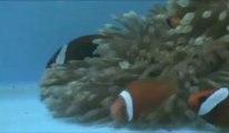 Nemo, dialogue entre poissons-clowns étude ULg