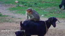 Goat and Monkey funny video