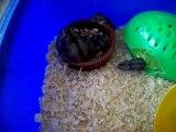 Le repas des bébés Hamsters avec leur maman
