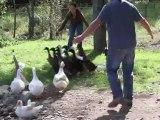 Canards font leur premier bain de leur vie