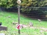 Repas des loups au Parc de Courzieu