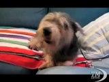 Il pepe nero non piace al cane: attacco di starnuti per Oliver. L'animale non ha gradito le spezie della cena di famiglia