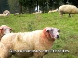 Carnage dans un troupeau de brebis