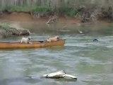 Un chien sauve deux chiens dans un canoë
