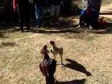 Vidéo d'archive - Tsapa faobe1 : coq T-A-M (rouge) vs coq d1 ami de GST (25jun12)