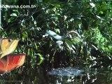 Arowana Wild Amazon Arowana in the wild life