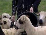 Moutons égorgés dans les Vosges : la piste d'un loup ou d'un lynx évoquée