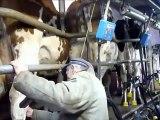 la traite des vaches en aveyron