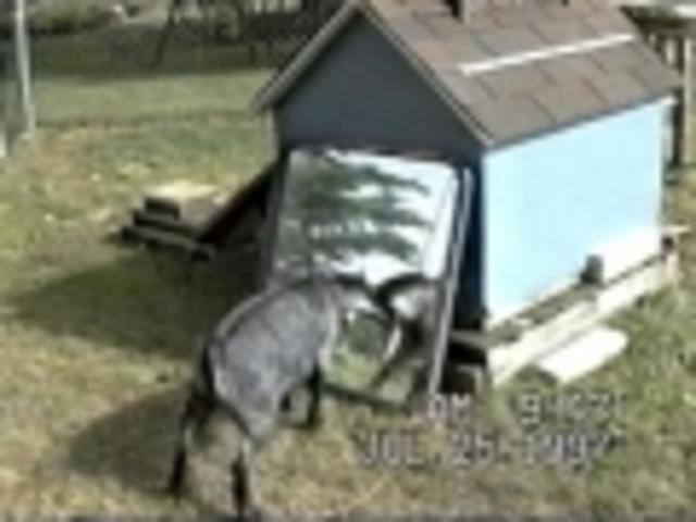 Goat vs. Goat