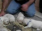 Premier repas des bébés golden reriever à 18 jours
