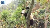 Réintroduction de pandas dans la nature à Chengdu vidéo 2