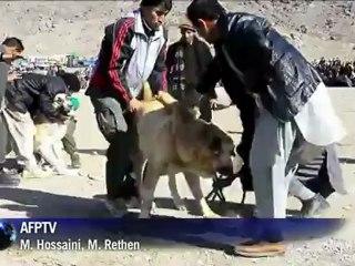 Luchas de perros en Afganistán