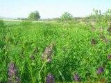 Yonca tohumu garantılı,korunga tohumu,cayır mera tohumu,çim tohumu,arı otu tohumu