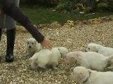 Les bébés Golden à 4 semaines - 1ère sortie dehors !!