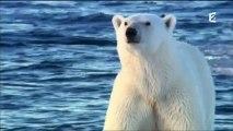 Grandeurs Nature - Ours polaires - Les espions de la banquise