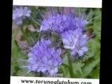 arı otu satanlar,arı otu tohum fiyatları2012,arı otu yetiştiriciligi,arı otu ekim zamanı