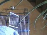 perroquets gris du gabon