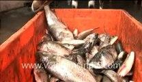 Goat Eating Fish? ... or Fish eating Goat? Go figure!!!
